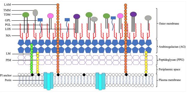 TB_membrane